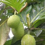 'Ulu (Breadfruit)