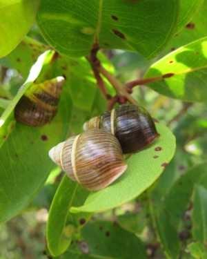 Oahu Tree Snail Achatinella Mustelina Hawaii Forest