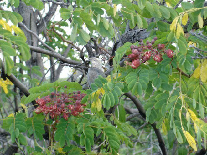Uhiuhi (Caesalpinia Kavaiensis)
