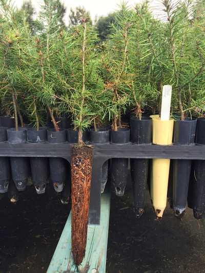 Āina Mauna Christmas Tree Demonstration Project – Hawaii Forest  - Christmas Tree Seedlings
